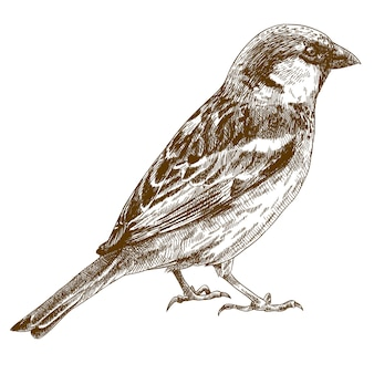 Engraving drawing illustration of sparrow