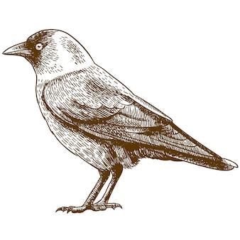 Engraving drawing illustration of western jackdaw