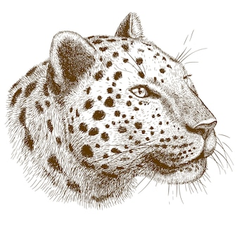 Engraving   drawing of leopard head