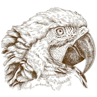 Engraving drawing of macaw head