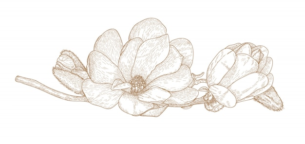 Engraving drawing of magnolia flower