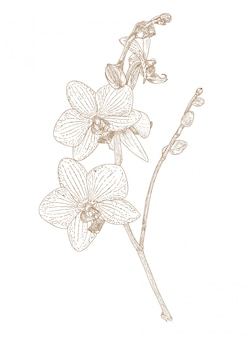 Engraving drawing of orchid flower