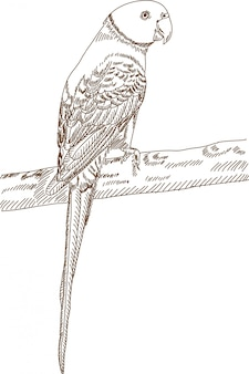 Engraving drawing of parrot