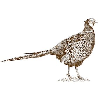 Engraving drawing of pheasant