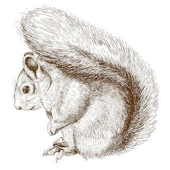 Engraving  drawing of squirrel
