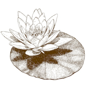 Engraving drawing of water lily flower