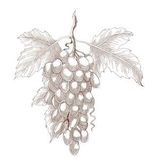 白い背景の枝にブドウを刻む。ワインの原料。モノクロイラストブドウの房と葉。手描きのスケッチ。
