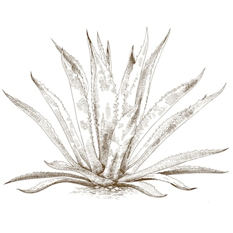 Engraving illustration of  blue agave
