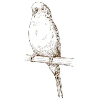 Engraving illustration of budgerigar