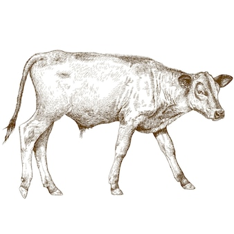 Engraving illustration of calf