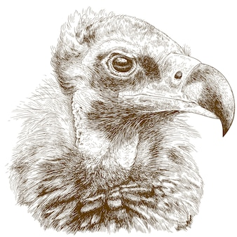 Engraving illustration of cinereous vulture