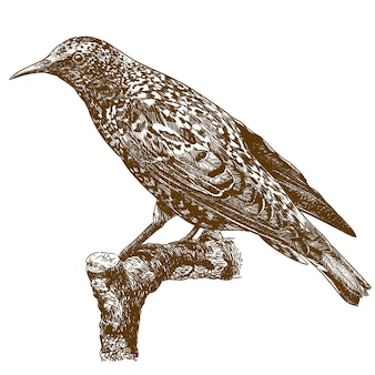 Engraving illustration of common starling