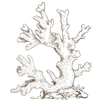 Engraving  illustration of coral