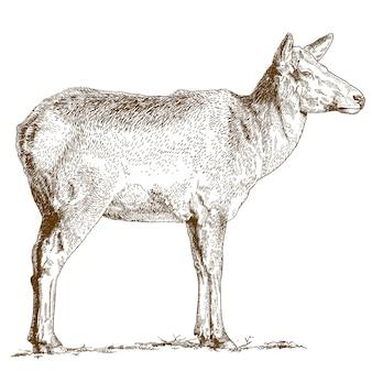 Engraving illustration of deer
