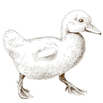 Engraving illustration of duckling