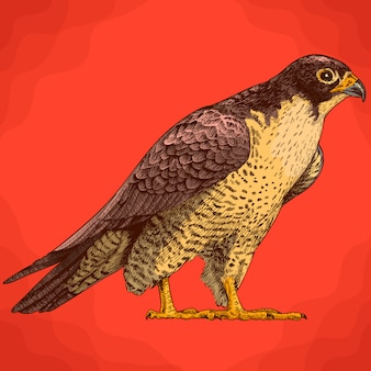 Engraving illustration of falcon in retro style