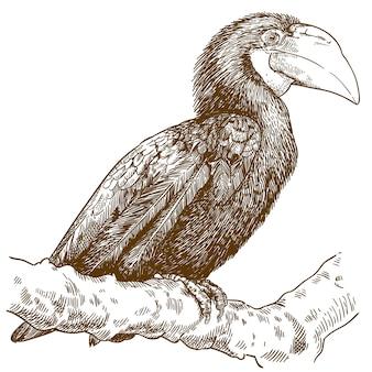 Engraving  illustration of female papuan hornbill