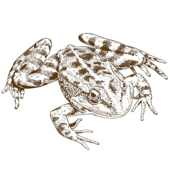 Engraving illustration of frog