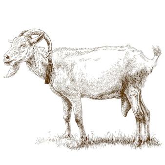 Engraving illustration of goat