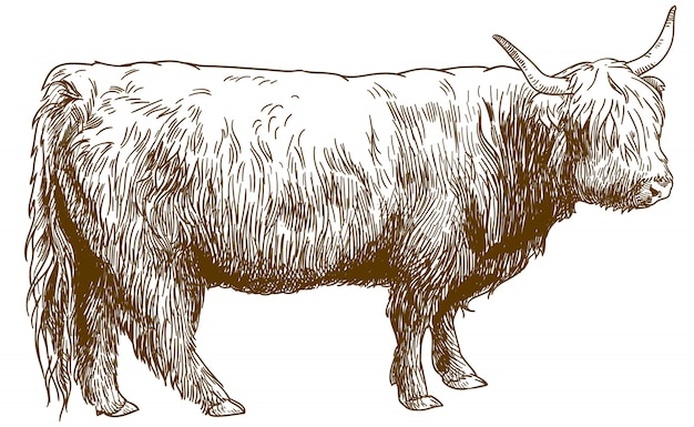 Engraving  illustration of highland cattle cow