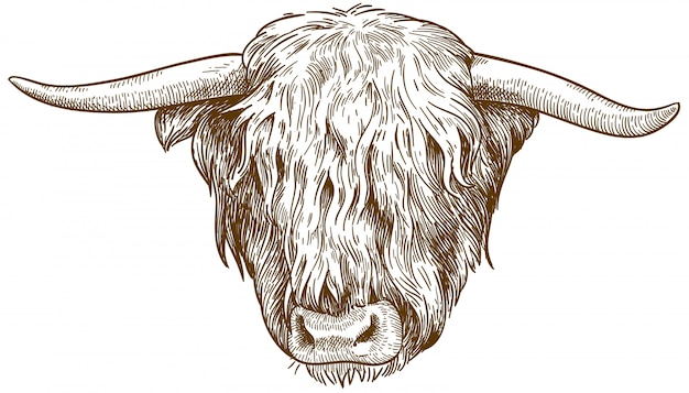Engraving  illustration of highland cattle head