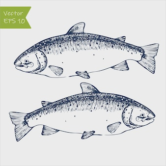 Engraving illustration of highly detailed hand drawn trout isolated on white background