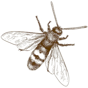 Engraving illustration of hornet or vespa