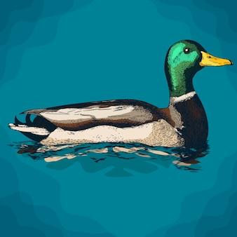 Engraving illustration of mullard duck