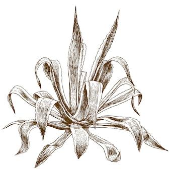 Гравюра иллюстрации агавы
