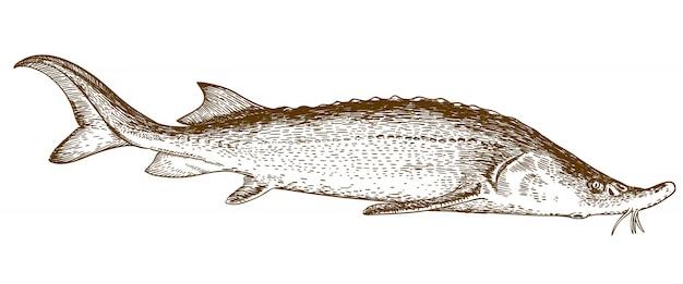 Гравюра иллюстрации осетровых рыб