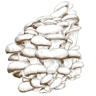 Engraving illustration of oyster mushroom