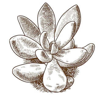 Engraving illustration of pachyveria glauca