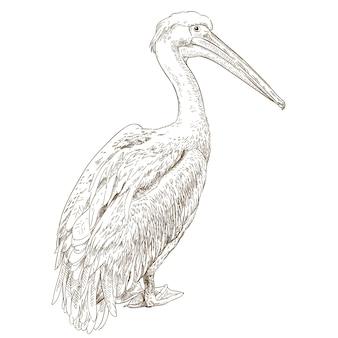Engraving illustration of pelican
