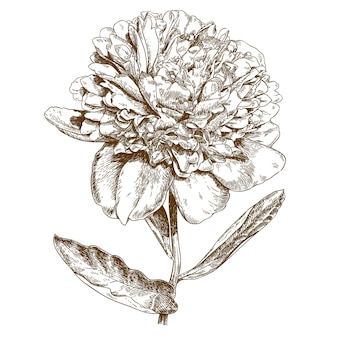 Engraving illustration of peony flower