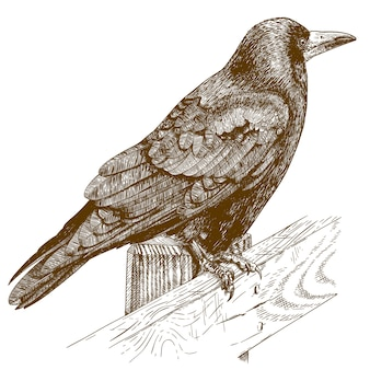 Engraving illustration of raven