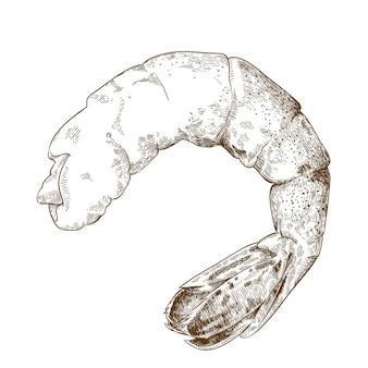 Engraving  illustration of shrimp tail