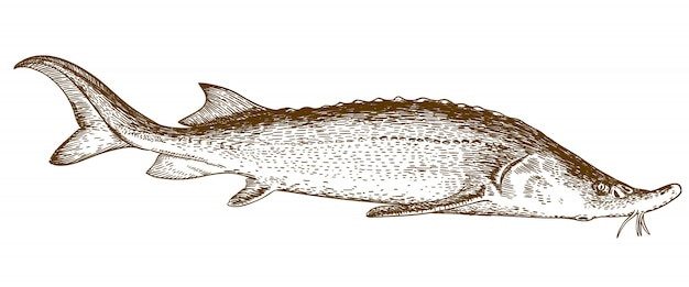 Engraving illustration of sturgeon fish