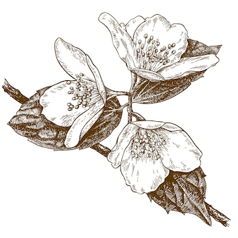 Engraving illustration of three jasmine flowers