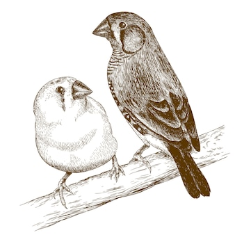 Engraving  illustration of two japanese finches