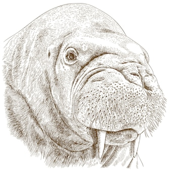 Engraving illustration of walrus head
