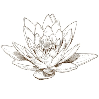 Engraving illustration of water lily flower