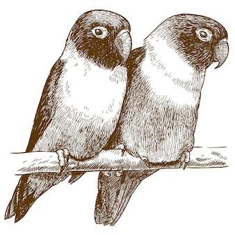 Engraving  illustration of yellow-collared lovebird