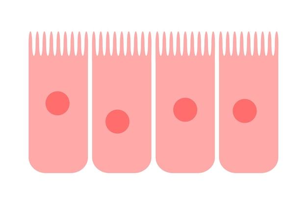 Эпителий слизистой оболочки носа