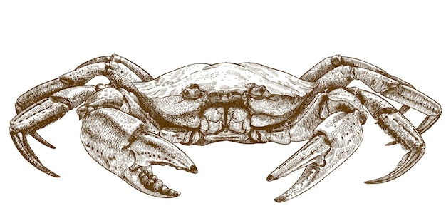 Etching illustration of crab