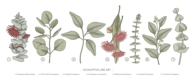 Eucalyptus branch hand drawn botanical illustrations.