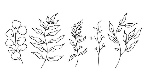 Эвкалипт каракули ветвь с листьями и ягодами