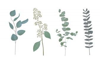 Eucalyptus leaf collection