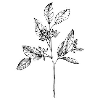Листья эвкалипта. ботанический цветочный цветок.