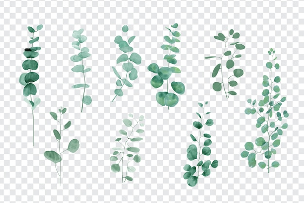 Eucalyptus leaves set isolated