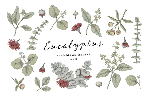 Eucalyptus plant botanical elements hand drawn illustration